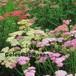 アキレア  'サマーパステル ' Achillea millefolium  'Summer Pastels'