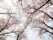 写真素材(桜-4026067)