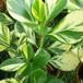 斑入りクルシア・ゴールドラッシュ素焼き鉢苗(大)