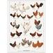 アート ポスター A4 サイズ KOUSTRUP & CO. - Chickens 鶏
