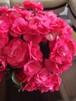 【母の日ギフト】リーガスベゴニア(バラ咲き・赤・ピンク系) 5号鉢