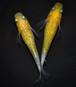 黄桜 若魚(2020年産まれ) オス1 メス1 (現物出品) ikahoff J-0909-4781-a