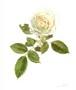1月19日白いバラ(フレーム付)
