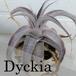 エアープランツ Dyckia【ディッキア】