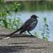 毛づくろいする鳥(セグロセキレイ)