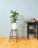 【観葉植物】フィカス ベンガレンシス 7号 プラ鉢 個性的 デザイン インテリア