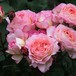 バラ裸苗 【ご予約商品】 マダム・ドゥ・スタール