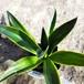 斑入りアガベ10.5cmポット苗