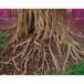 神秘の森・24(ガジュマルの根01)