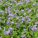 ヒトミソウ (リンデルニア) Lindernia grandiflora