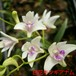 白花キンギアナム9cmポット苗3鉢