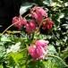 四季咲きコマクサ ディセントラ キングオブハーツ