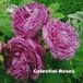 レーヌ デ ヴィオレット Reine des violettes