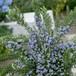 クリーピング ローズマリー Rosmarinus officinalis