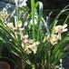 春金蘭10.5cmポット苗