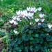 ガーデンシクラメン Cyclamen persicum