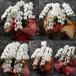 胡蝶蘭の鉢植 5本立 30,000円