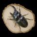 【原画】輪切り絵アート:レアな雌雄同体のオオクワガタ (Rare Hermaphrodite Stag Beetle)