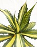 アガベ フェロックス錦 Agave salmiana var.ferox 'variegata' 20171213