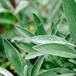 ハーブ茶:セージ(無農薬・無化学肥料)1.5g × 5パック