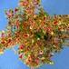コリウス トヨタマヒメ10.5cmポット苗3鉢