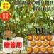 【送料無料】【宮城県産】【贈答品】【予約販売】産地直送 ブランド和梨「豊水」10kg/箱