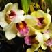 花芽付きビフレナリア・ハリソニエ10.5cmポット