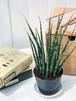 観葉植物 サンスベリア ファンウッド ミカドタイプ 3号ポット Sansevieria PG200120