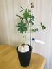 ニシキサンゴ【観葉植物・塊根植物】