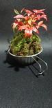 南天 苔玉 Kokedama Moss ball 盆栽タイプ bonsai type シエラカップセット