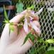 桃花白糸ホタルブクロ10.5cmポット苗