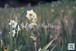 水仙まつり2015~Narcissus flower garden~①