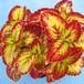 コリウス ニニギ10.5cmポット苗3鉢