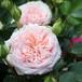 バラ裸苗【ご予約商品】 いわての春