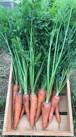 春人参 /Spring Carrot