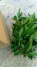 クロモジ枝葉(フレッシュ)150g