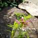 糸咲きホタルブクロ10.5cmポット苗