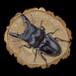 【原画】輪切り絵アート:パラワンオオヒラタクワガタ (Dorcus titanus palawanicus)