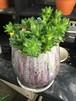 ハオルシア寄せ植え(オブツーサ等)【サボテン・多肉植物・観葉植物・鉢植・鉢】