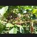 ホンジュラス(Honduras)・エルロブラル(El Roblar)  中深煎り 200g