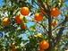 【ACO認定有機】オレンジ(10ml)