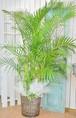 I0044) 開店祝 観葉植物 アレカヤシ