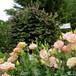 ユーストマ(トルコギキョウ ) Eustoma grandiflorum