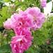 ローズ ド メ (ケンティフォリア ナボナン) Rose de Mai (Centifolia Nabonnand) オールドローズ/バラ
