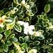斑入り白鳥木10.5cmポット