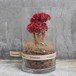 DRY CYLINDER 20 -Celosia-