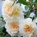 バラ裸苗【ご予約商品】 ホワイト・ドリーム・ウィーバー