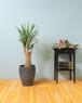 【観葉植物】ユッカ エルミラ 8号 陶器鉢 個性的 デザイン インテリア