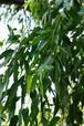 精油ユーカリロザリーナ(10ml/200滴)