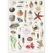 アート ポスター A4 サイズ KOUSTRUP & CO. - Things along the beach 海浜の生物